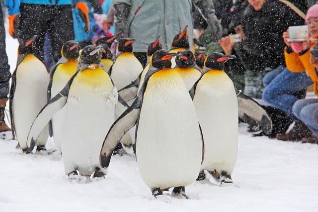 旭山動物園ペンギンのさんぽ